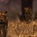 Bilder zur Sendung Gerissen - L�wen auf der Jagd