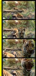 Phoenix 20:15: Die geheime Welt der Tiger