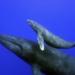 Bilder zur Sendung Das Geheimnis der Buckelwale