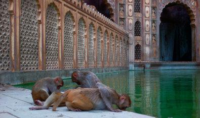 Bild 1 von 40: Makaken im Affentempel