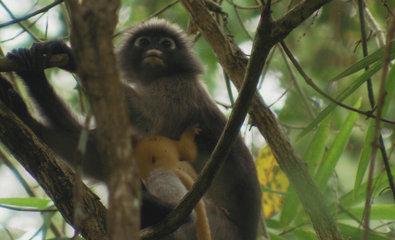 Bild 1 von 40: Langur Affenmutter mit Kind